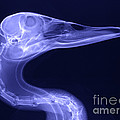 X-ray Of A Mallard Duck Head by Ted Kinsman
