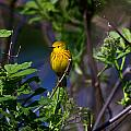Yellow Warbler by Doug Lloyd