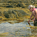 Young Girl Exploring A Maine Tidepool by Ted Kinsman