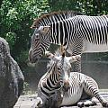Zebras by Rob Hans