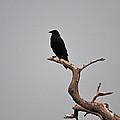 30- Black Crow by Joseph Keane