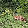 White-tailed Deer by Jack R Brock