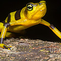 Harlequin Toad by Dante Fenolio