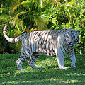 35- White Bengal Tiger by Joseph Keane