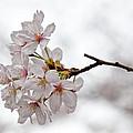 Cherry Blossoms by Robert Ullmann