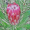 Protea Blossom by Werner Lehmann