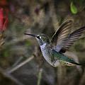 Anna's Hummingbird  by Saija  Lehtonen