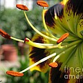 Asiatic Lily Named Black-eyed Cindy by J McCombie