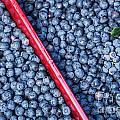 Blueberry Harvest by John Greim