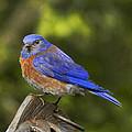 Bluebird by Jean Noren