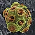 Calcareous Phytoplankton, Sem by Steve Gschmeissner