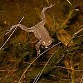 Common Frog by Jouko Lehto