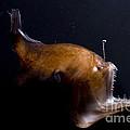 Deep Sea Angler by Dante Fenolio