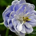 Double Columbine Named Light Blue by J McCombie