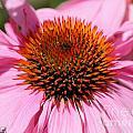 Echinacea Purpurea Or Purple Coneflower by J McCombie