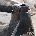 Elephant Seal Colony On Big Sur  by Carol Ailles