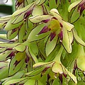 Eucomis Named Bicolor by J McCombie