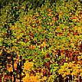 Fall Aspens by Patrick  Short