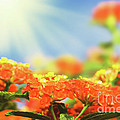 Floral Background. Lantana Flowers by MotHaiBaPhoto Prints