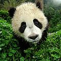 Giant Panda Ailuropoda Melanoleuca by Katherine Feng