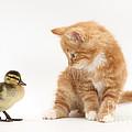 Ginger Kitten And Mallard Duckling by Mark Taylor