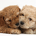 Golden Cockerpoo Puppies by Mark Taylor