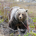 Grizzly Bear by Ginevre Smith