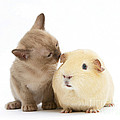 Kitten And Guinea Pig by Mark Taylor