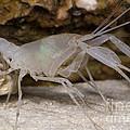 Mclanes Cave Crayfish by Dante Fenolio