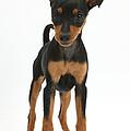 Miniature Pinscher Puppy by Mark Taylor