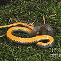 Northern Ringneck Snake by Ted Kinsman