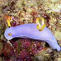 Nudibranch Feeding On Algae, Papua New by Terry Moore