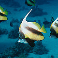Red Sea Bannerfish by Georgette Douwma