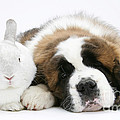 Saint Bernard Puppy With Rabbit by Mark Taylor