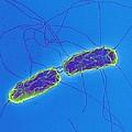 Salmonella Bacteria, Sem by