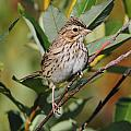 Savannah Sparrow by Doug Lloyd