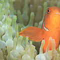 Spinecheek Anemonefish In Anemone by Steve Jones