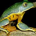 Splendid Leaf Frog by Dante Fenolio