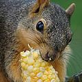 Squirrel Eating Sweet Corn by Lori Tordsen