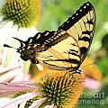 Tiger Swallowtail Butterfly by Krista Kulas