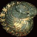 Trilobite Fossil by Sinclair Stammers
