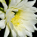 White Cactus Flower by Jim And Emily Bush