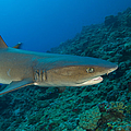 Whitetip Reef Shark, Kimbe Bay, Papua by Steve Jones