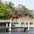 Wild Spanish Mustangs Obx Nc by Kim Galluzzo Wozniak