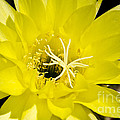 Yellow Cactus Flower by Jim And Emily Bush