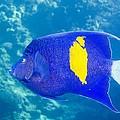 Yellowbar Angelfish by Georgette Douwma