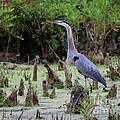 Great Blue Heron by Jack R Brock