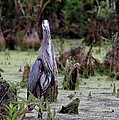 Great Blue Heron by Jack R Brock