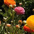 Flower Fields by Daniel  Knighton