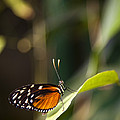 A Butterfly Rests On A Leaf by Taylor S. Kennedy